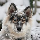 Stormy The Husky by picturistic