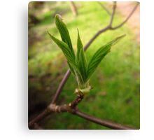 Little Spring Sprout Canvas Print