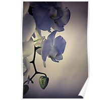 Orchid Purple Poster