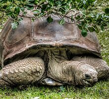 Giant Tortoise by Bette Devine