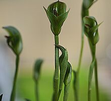 Pterostylis curta --- ( the P is silent ) by Larry Lingard-Davis