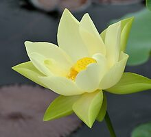 Large Pale Yellow Water Lily by Kathleen Brant