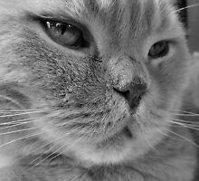 British Shorthair Cat by Richard Meads