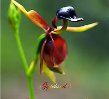 Flying Duck Orchid - Gippsland by Bev Pascoe