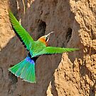 White fronted bee eater -  Zambia by Marieseyes