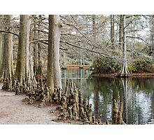 Winter Cypress Trees Photographic Print
