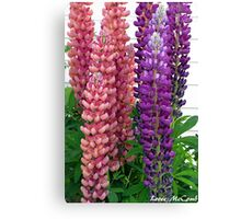 New Zealand Lupin Canvas Print