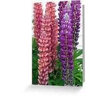 New Zealand Lupin Greeting Card