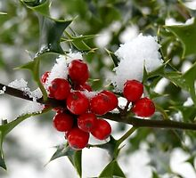Christmas Berries by mikebov