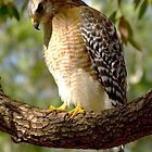 Red Shouldered Hawk by Frank Bibbins