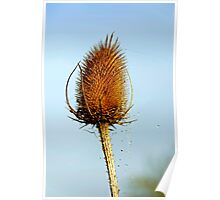 Teasel Laced with Morning Dew Poster