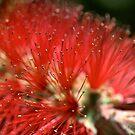 Red Australian by Joy Watson