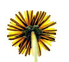 Dandelion by carlosporto