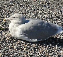 Sunning Seagull by Goudy