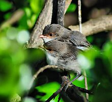 Alright mate? Blue Wrens by adbetron