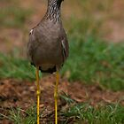African Wattled Lapwing by naturalnomad