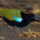 Rainbow Pitta by naturalnomad