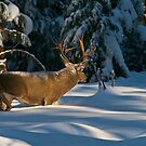 Buck in Snow by Ken Scarboro