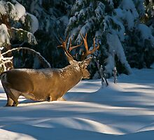 Buck in Snow by Ken Scarboro