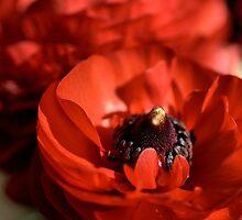 Red Glow - Ranunculus Flowers by Joy Watson