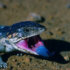 Shingleback Skink by naturalnomad