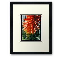 Yahm  Kniphofia  (Red Hot Poker) Framed Print