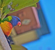 Rainbow lorikeet - peekaboo! by Kim Austin
