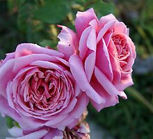 Pink Roses by AndyGleason