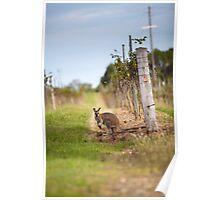 Kangaroo in the vineyard Poster