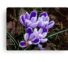 Beautiful Crocus Canvas Print
