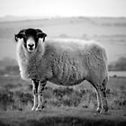 An Exmoor sheep. by Dave Hare