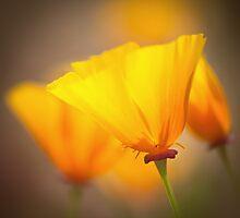 Poppy Glow by Sarah-fiona Helme