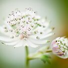Astrantia Bliss by Sarah-fiona Helme
