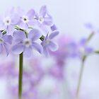 Spring Primrose by Sarah-fiona Helme