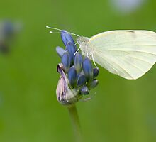 Agapanthus White by Sarah-fiona Helme