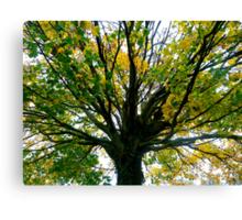 Sycamore tree. Canvas Print