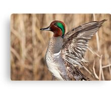 Green Winged Teal Wing Stretch Canvas Print