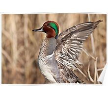 Green Winged Teal Wing Stretch Poster