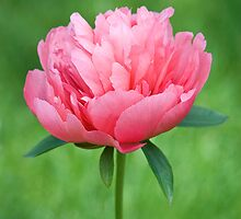 "Peony ""Lorelei"" by Ellen McKnight"
