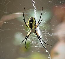 Yellow and black garden spider by Christopher Herrfurth