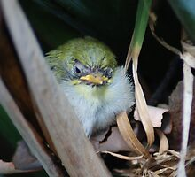 The final in the series, silvereye chicks by adbetron