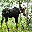 Moose in Birch Grove by smalletphotos