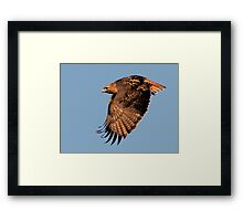 1130101 Red Tailed Hawk Framed Print