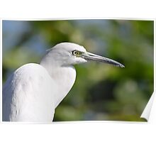 Little blue heron-white phase Poster