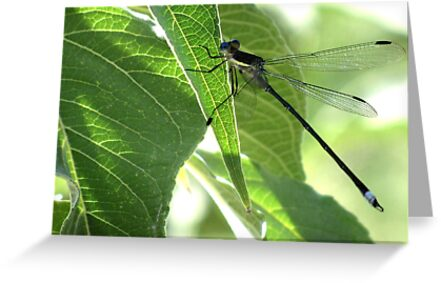 Damselfly ~Great Spreadwing (Male) by Kimberly Chadwick