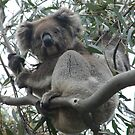 Koala & Baby - Horsnell Gully, South Australia by Dan & Emma Monceaux