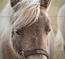 Miniature Horse by Toni Herkalo