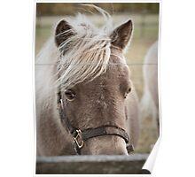 Miniature Horse Poster