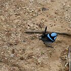 Little blue wren, Kangaroo Island,S.A. by elphonline