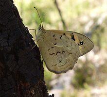 Common Brown Butterfly (Heteronympha merope) - Belair National Park, South Australia  by Dan & Emma Monceaux